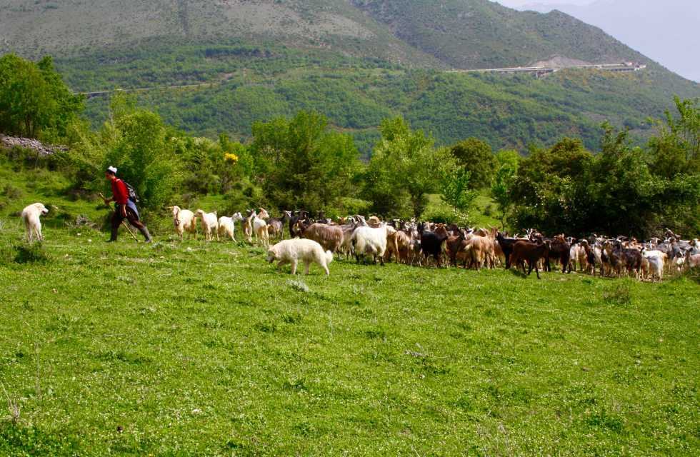 Shepherd and his flock of goats. Walk with the shepherds on our Private Italy Tours
