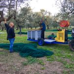 food-tours-of-Abruzzo-Italy-picking-olives-extra-virgin-olive-oil