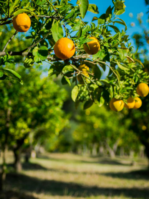 Orange-trees-on-the-farm-in-Basilicata-Italy