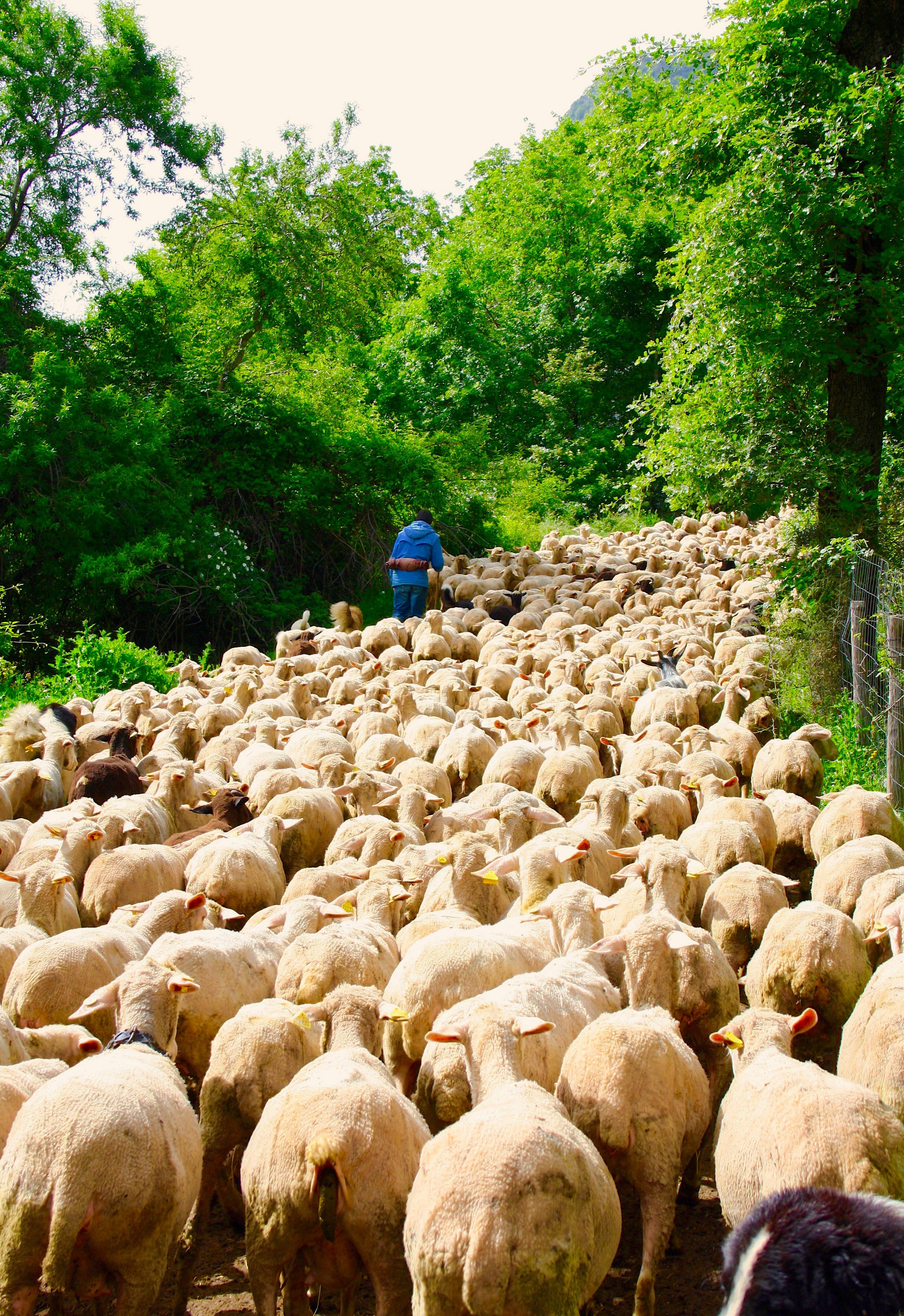 Abruzzo shepherd with his flock on transumanz Tour Aburzzo